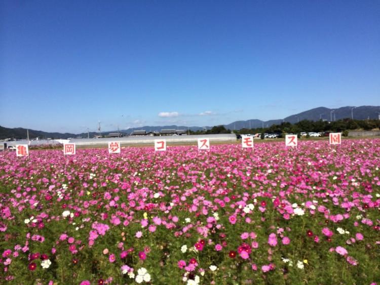 亀岡運動公園横のコスモス畑