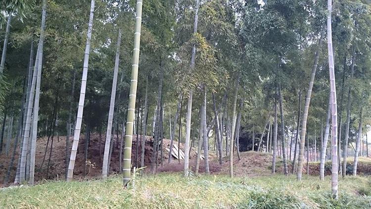 東福西通り、芋峠手前にて。 タケノコ専用の竹林です。 光が射して開放感があります。